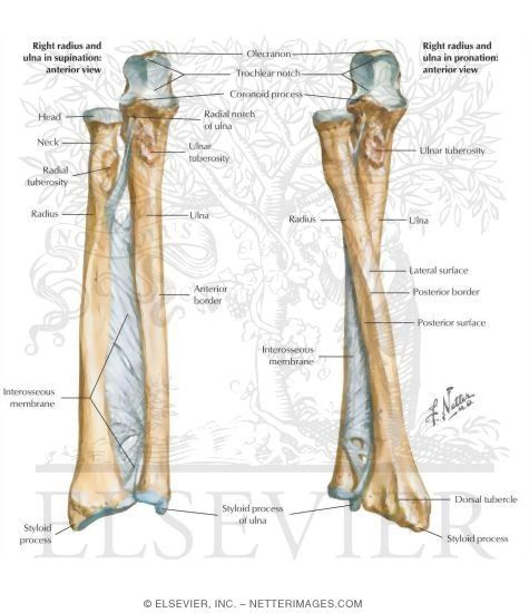 Forearm Anatomy Skeletal Anatomy Pinterest Forearm Anatomy And