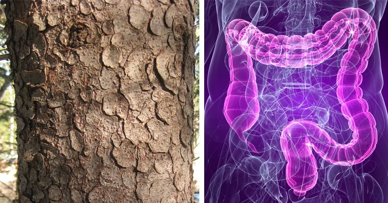 Our ancestors used to eat Spruce tree bark and until now we didn't know why. Looks like they weren't barking up the wrong tree.