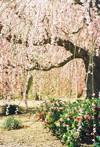 Blossom Tree Blossom Trees Dream Garden Japanese Garden