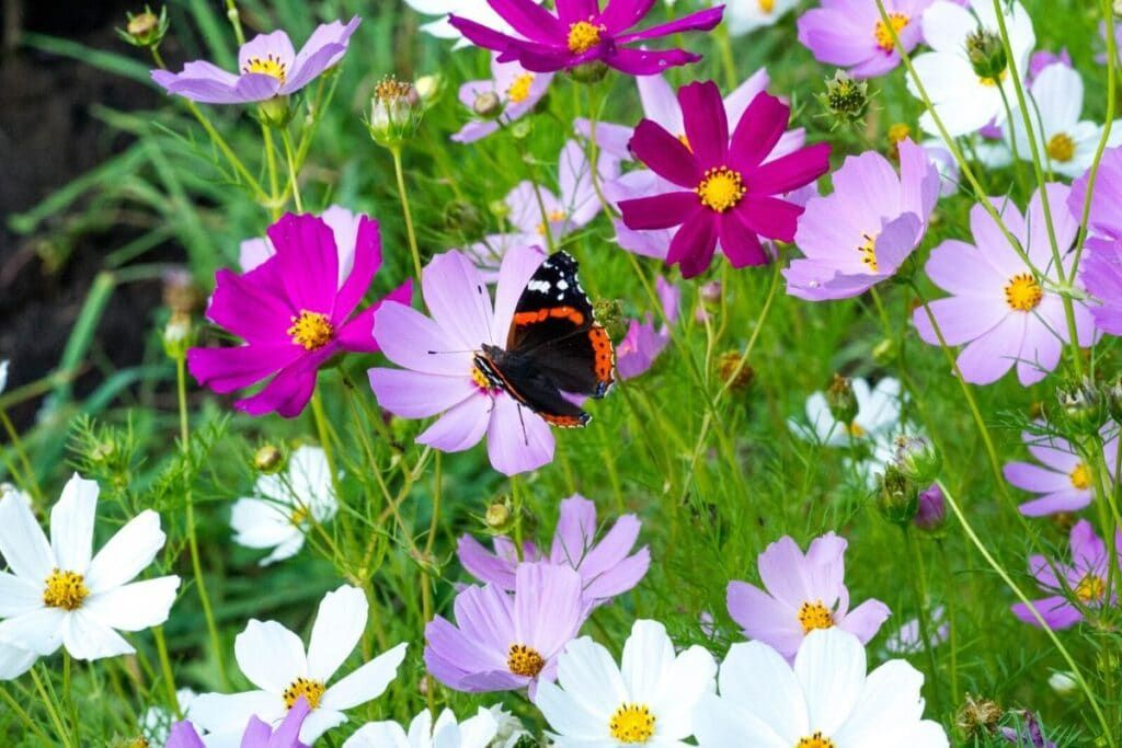 Cosmos Flower Meaning Is Just As Fragrant And Colorful Annual Flowers Flowers Perennials Cosmos Flowers