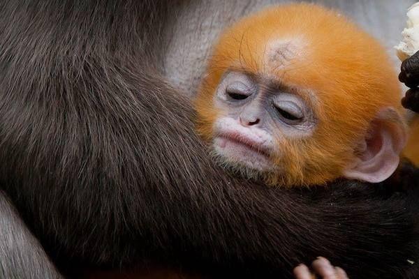 Oranje Brillangoer jong slaapt bij moeder in Burgers Zoo.