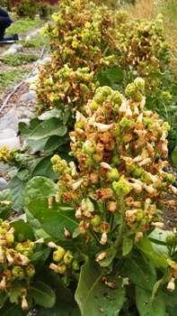 Tobacco, Hopi Ceremonial Seeds - (Nicotiana rustica) | tobacco and