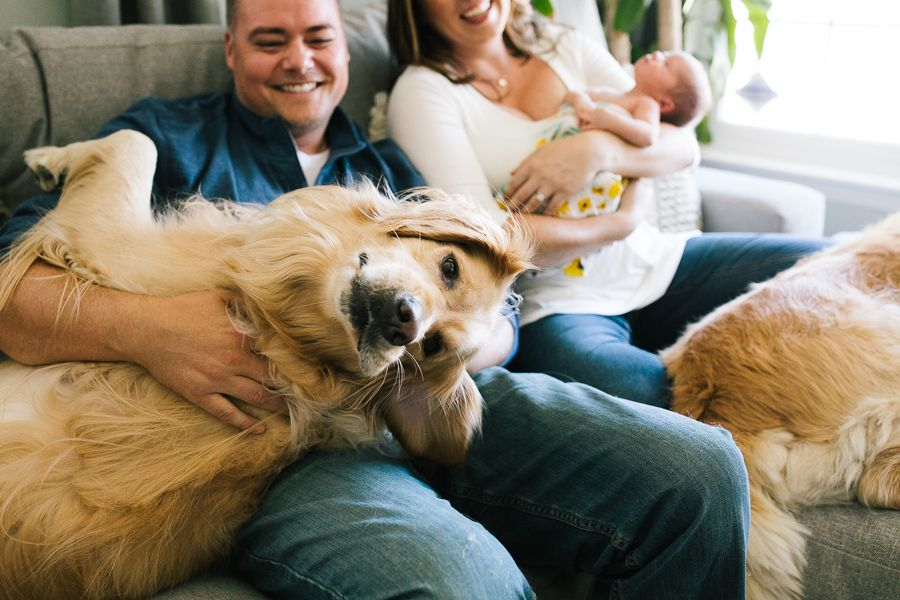 Two Golden Retrievers Sitting On The Couch With Family And Newborn