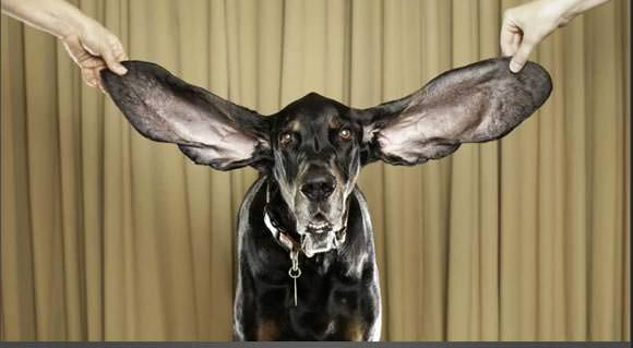 cbc.ca - dog with longest ear
