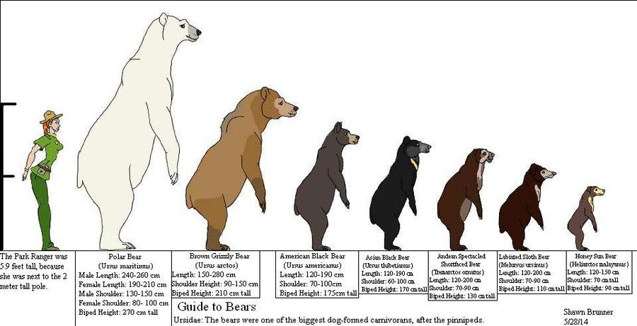 Guide to Bears by Patchi1995.deviantart.com on @deviantART ...
