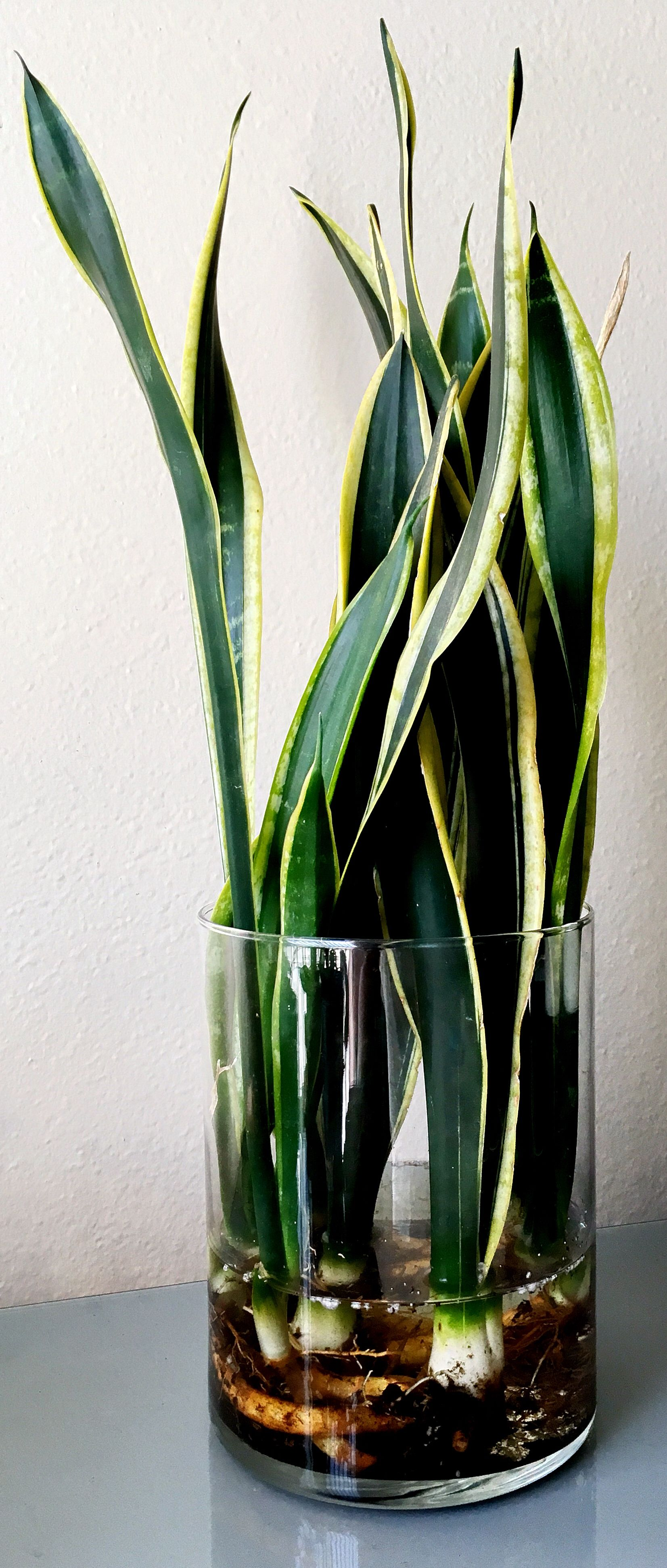Snake Plants In Water It Really Works Snake Plant Water