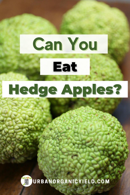 Hedge apples uses in 2020 hedge apples hedge apples