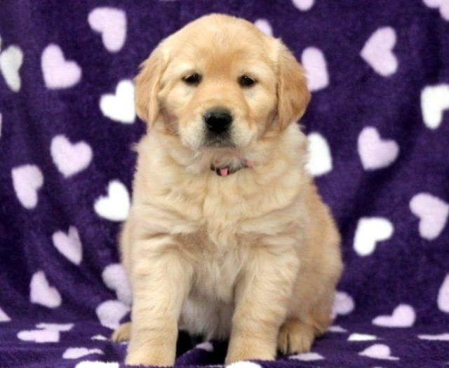 Pin On English Golden Retriever Puppy