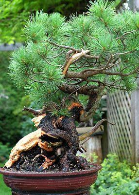 Walter Pall Bonsai Adventures: The huge Swiss Stone Pine - part 2