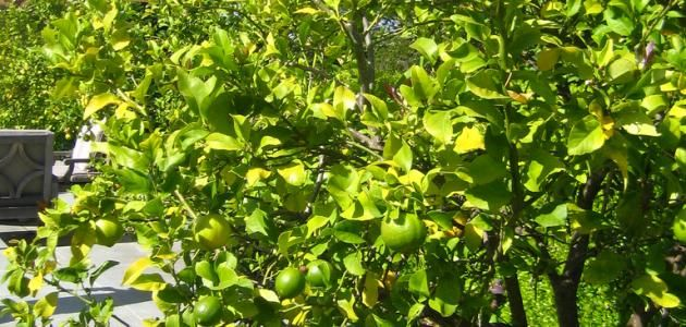 كيفية زراعة اشجار الليمون Agriculture Grapes Fruit