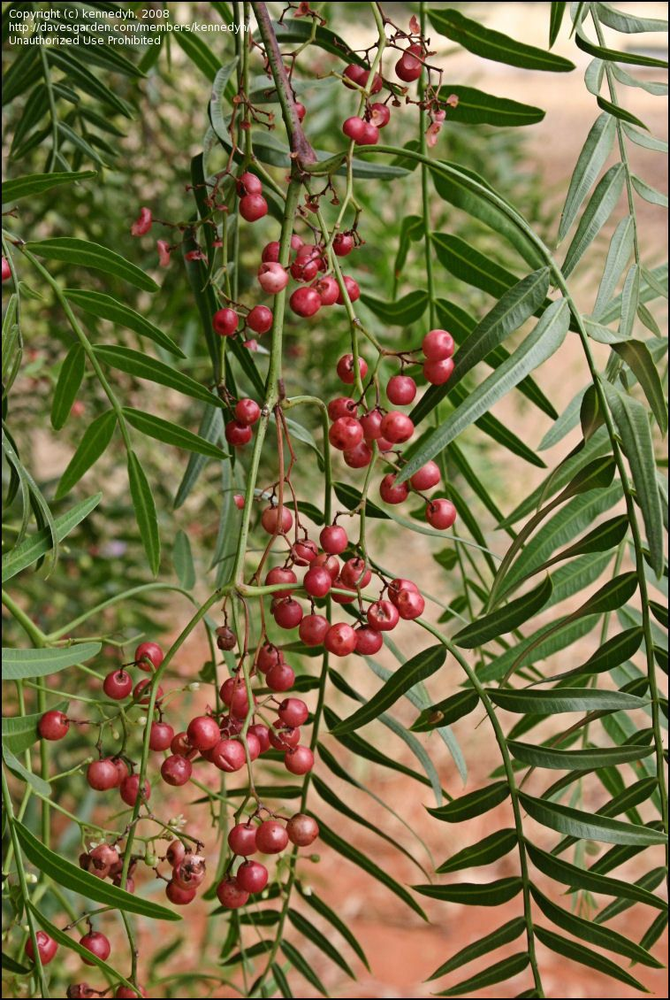 Plantfiles Pictures California Pepper Tree Mastic Tree Peppercorn Tree Peruvian Mastic Tree Schinus Molle By Kennedy Pepper Tree House Plants Mastic Tree