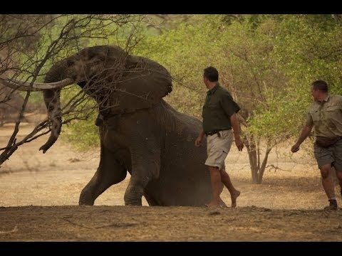 LAST GREAT TUSKERS Check out this trailer for a series due out in a couple months on the majestic elephants of magical Mana, Matusadona, & Hwange  Sigh, this makes my heart hurt how homesick this makes me. Some incredible footage!