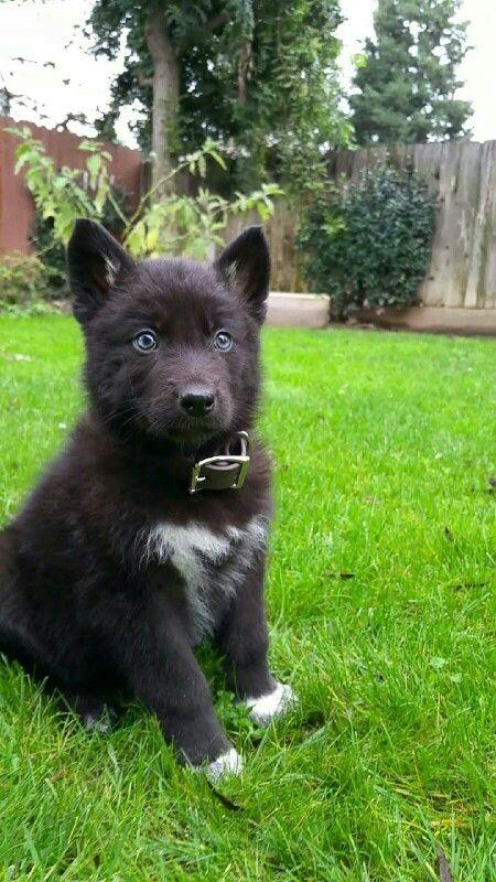 Wolf-like Black and White Husky, nice | Huskies ...  |Black Siberian Husky Wolf Mix