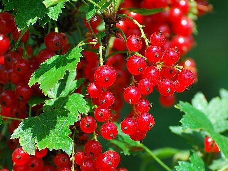 Дача, сад и огород | Красная смородина