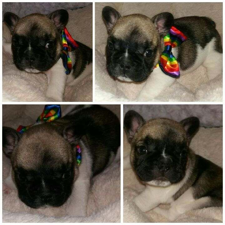 Litter Of 3 French Bulldog Puppies For Sale In Chesnee Sc Adn