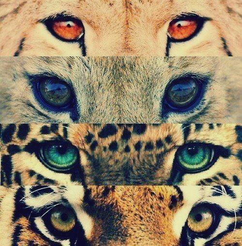 wild cats' eyes