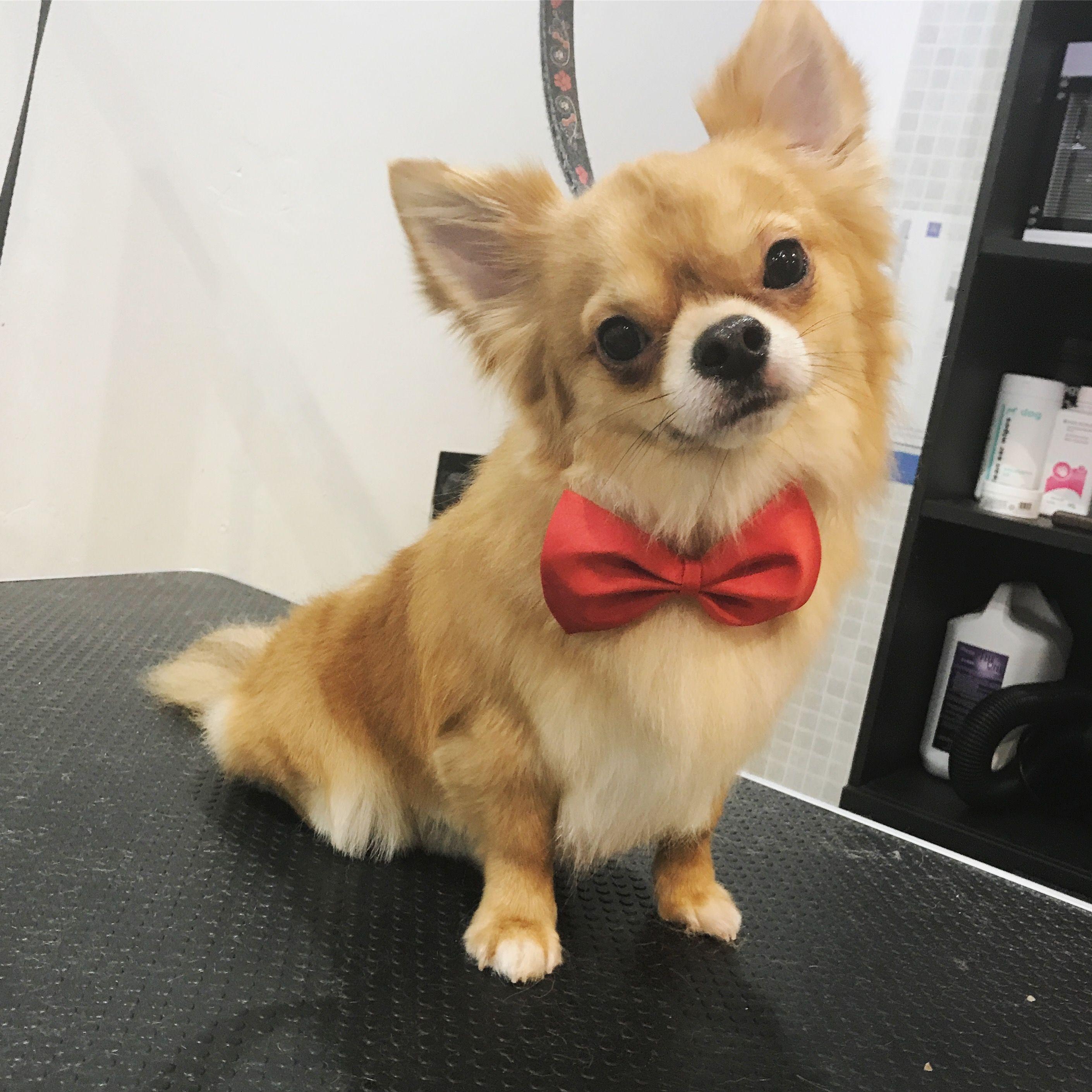 Obi Long Haired Chihuahua Long Haired Chihuahua Cute Chihuahua Chihuahua