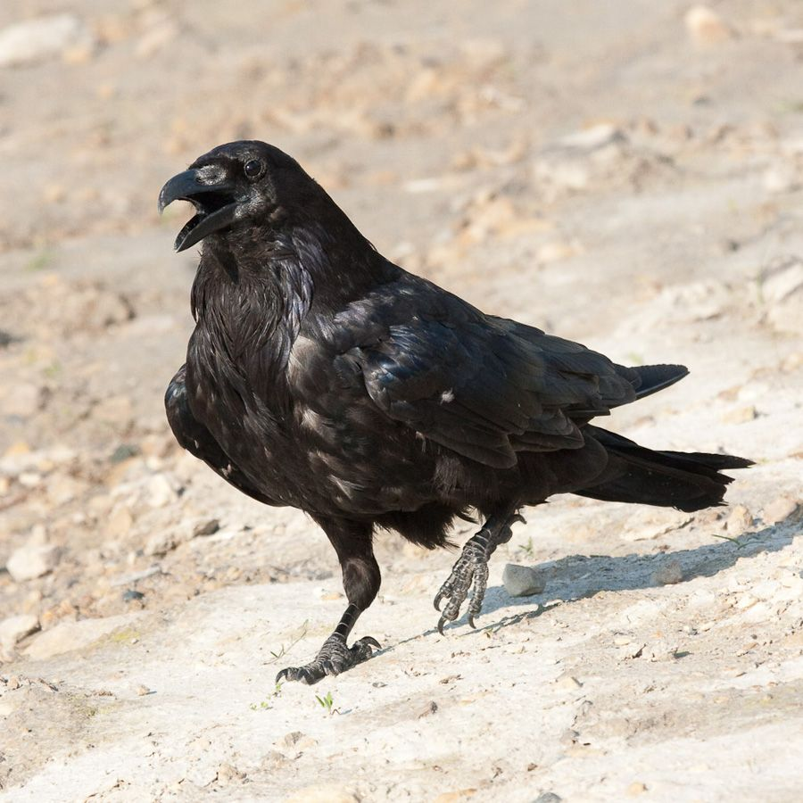 raven_ref_9.jpg (900×900)
