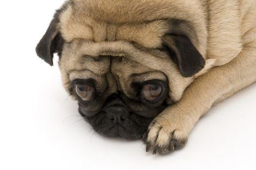 Pug Love 3 Pugs Pug Love Pugs Best Dog Breeds