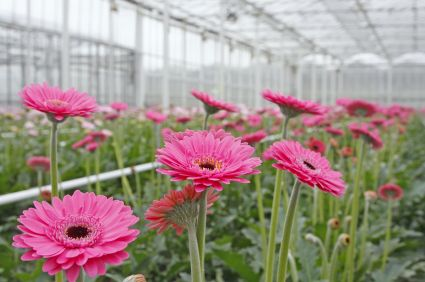 List of the best and most popular greenhouse flowers to grow best read the ultimate list of flowers to grow within a greenhouse structure to create the most productive and responsive plants gardens while remaining mightylinksfo Image collections