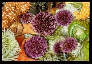 urchins starfish