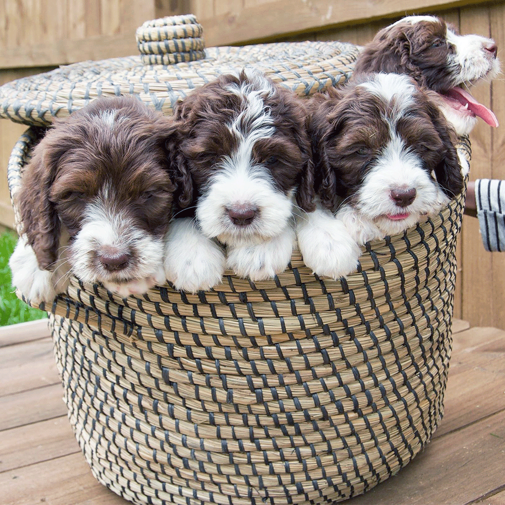 Mini Springerdoodle puppies... one for each of your future