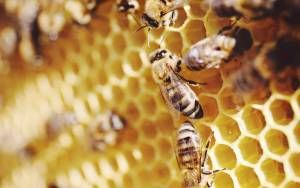 Could Honey Bee Brood Be Tomorrow's Food?