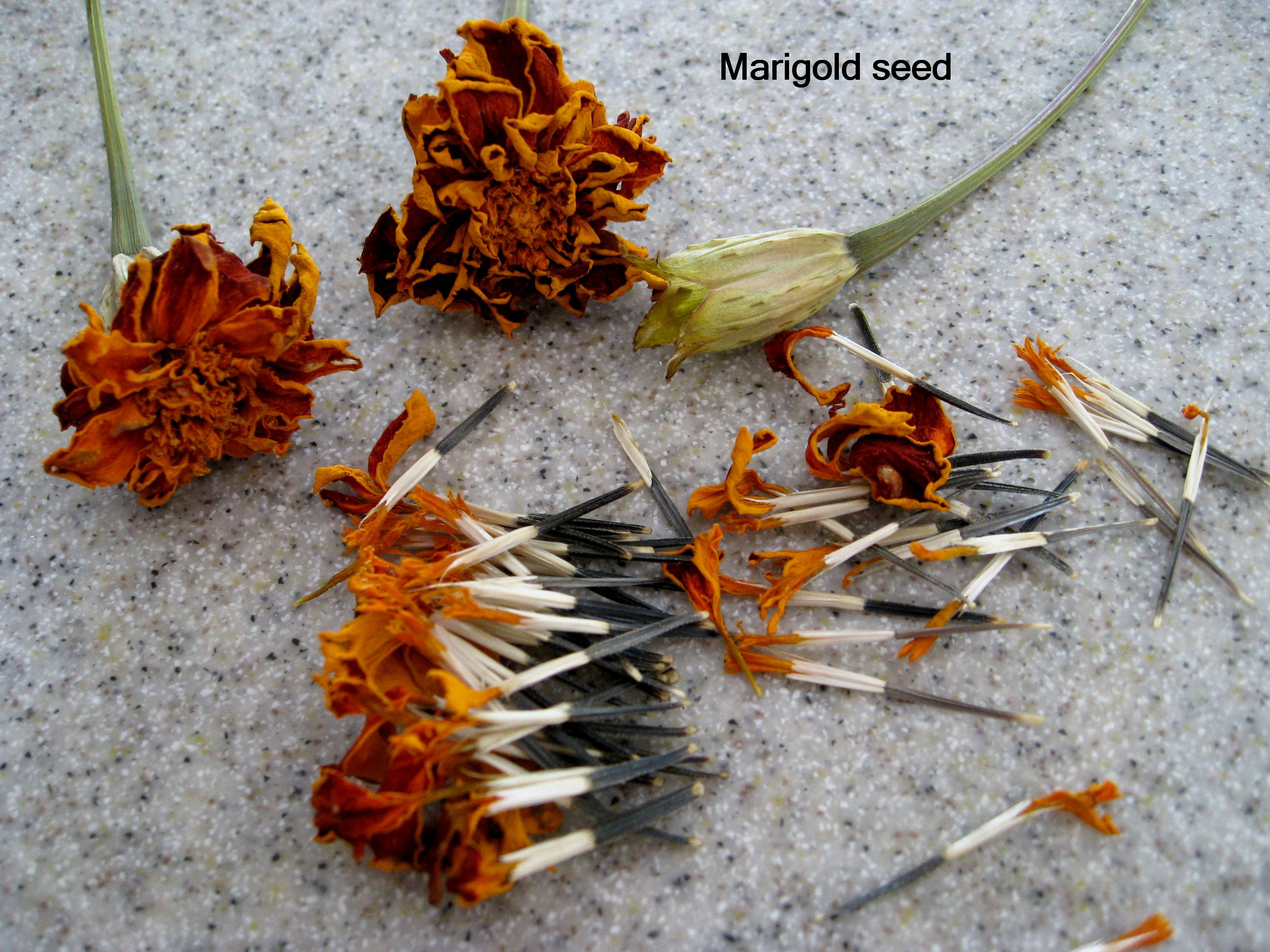 Posts about marigold on Deb's Gardens | Marigolds in garden, Growing marigolds, Planting marigolds