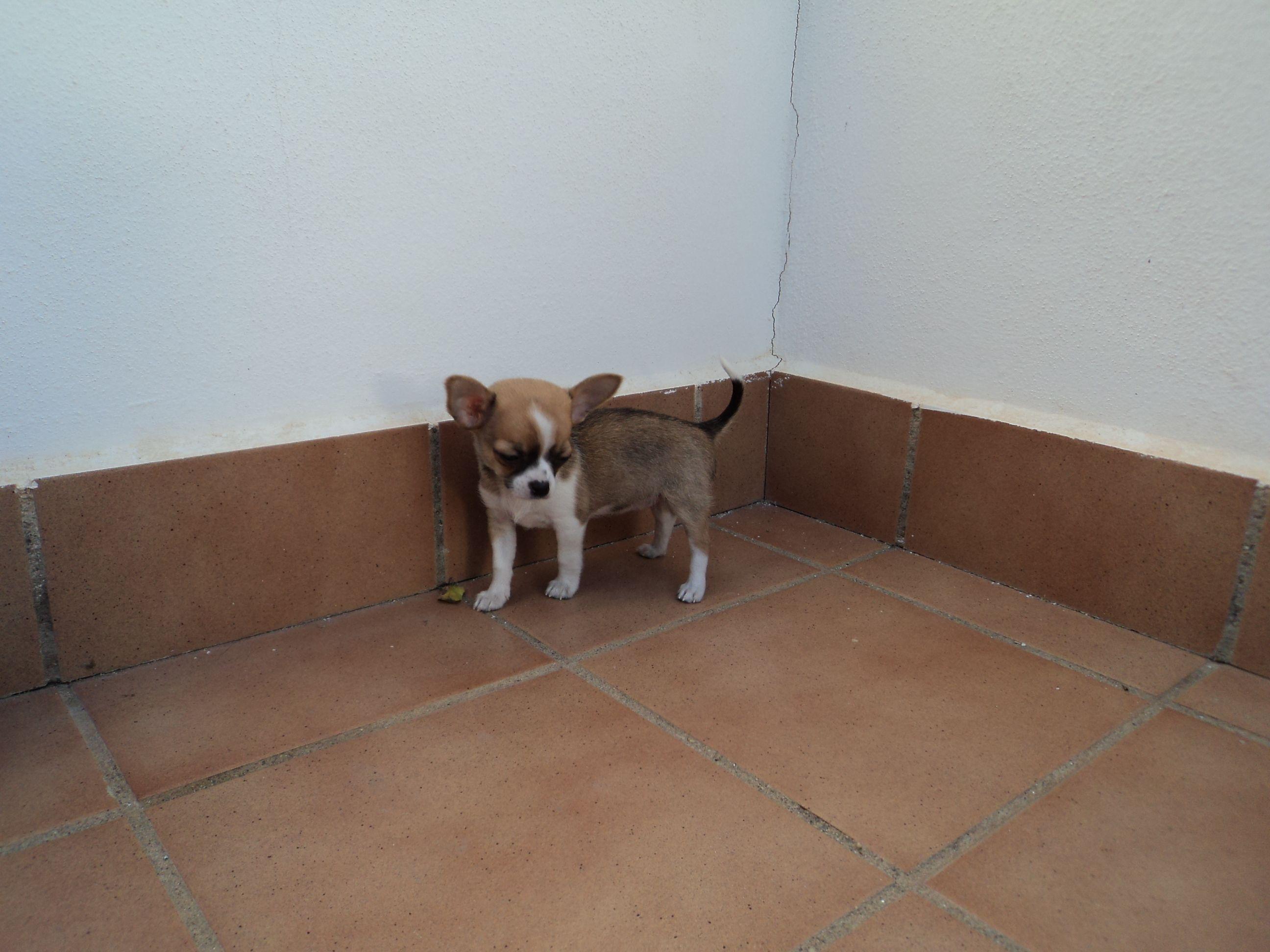 Puppie Chihuahua