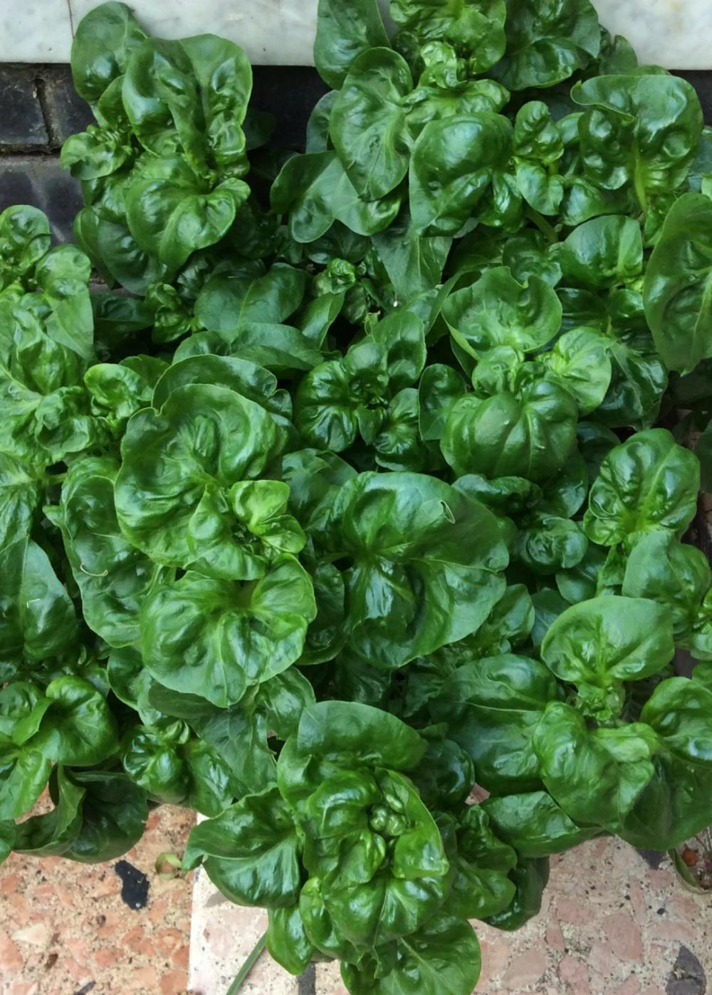 Sissoo Spinach (Alternanthera sissoo) Drying herbs