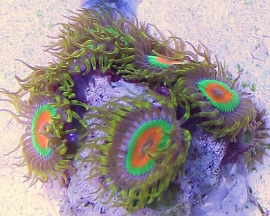 Collector Aquacultured Rasta Zoas Coral - 5 Polyps