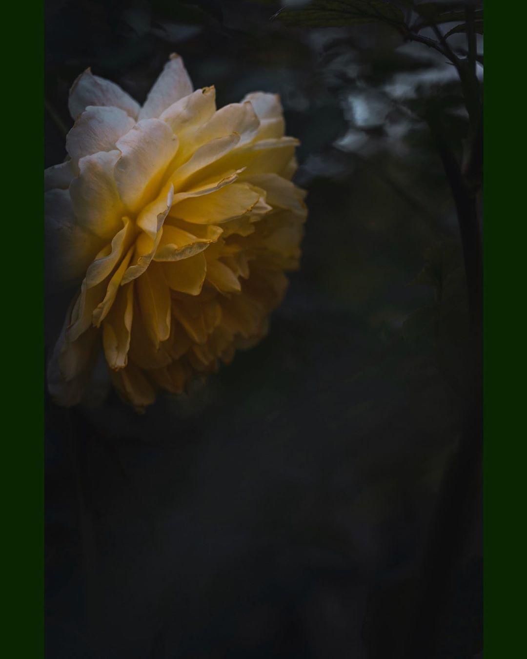 """. . 「重大発表""""とかいう平成の負の遺産」 . 結果発表""""(cv:浜田雅功)とかいう平成の正の遺産。 ... .. . #igersjp  #instagramjapan  #lovers_amazing_group  #ptk_flowers  #ig_PHOS  #RECO_ig  #team_jp_  #flowerstagram  #wp_flower  #flower_special_  #nature_special_  #lovers_garden  #inspring_shot  #unsquares  #special_friend___  #ptk_love  #happy_rainbowclub_blue  #写真好きな人と繋がりたい  #キリトリセカイ  #広がり同盟  #花の写真館  #カメラ散歩倶楽部  #macro  #はなまっぷ  #神戸カメラ部  #名前のない写真部  #薔薇  #rose  #マクロ"""