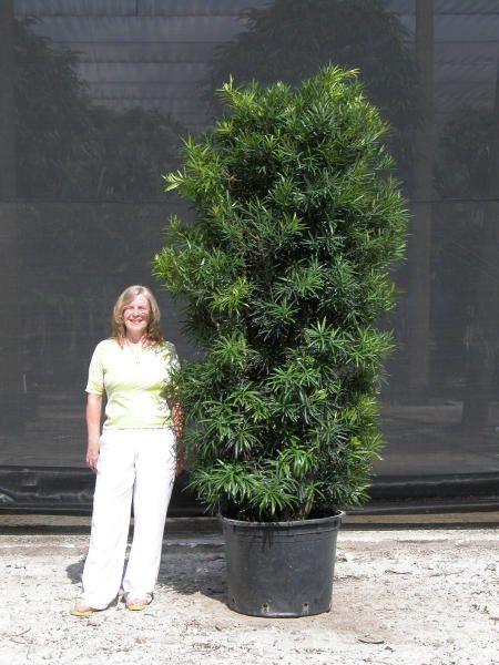 Plant Podocarpus Macrophyllus Maki Origin South China Japan Zone 7 11 Height 15m Notes Inconspicu Bonsai Tree Types Bonzai Tree Landscaping Plants