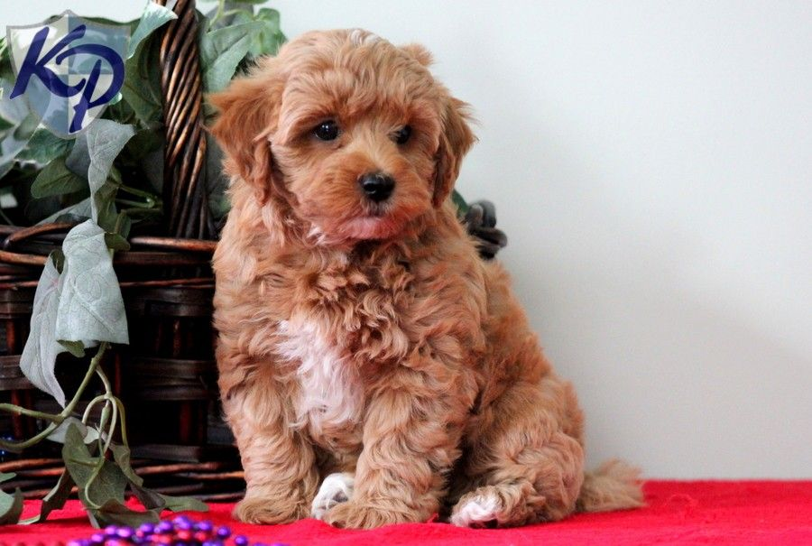 Puppy Finder Find Buy A Dog Today By Using Our Petfinder Puppy Finder Puppies Havanese Puppies For Sale