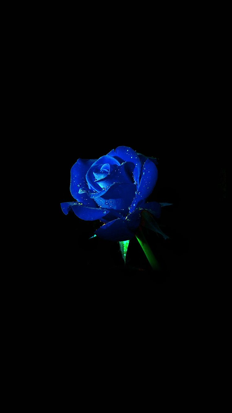Am02 Blue Rose Dark Flower Nature Blue Roses Wallpaper Blue