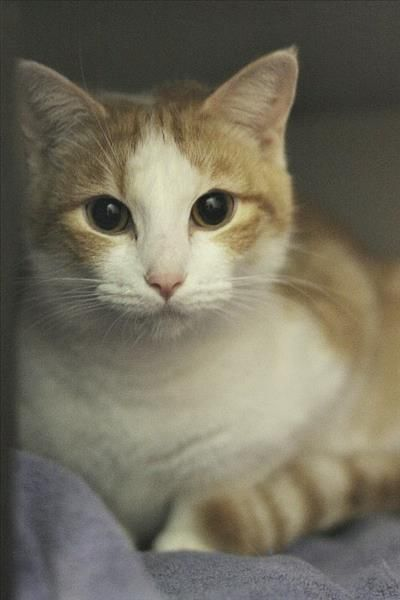 Hello Humans I M Audrey I M In The Market For A Forever Family And I M Hoping You Re The One For Me I Ll Need To Stay Indoors To Kee Adoption Pets Animals