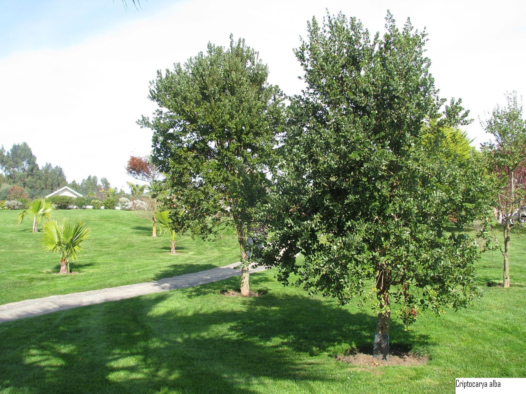 Peumo arbol que crece hasta 20 mts semisombra resiste for Arboles crecimiento rapido hoja perenne