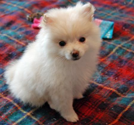 Kiki The Pomeranian Pomeranian Puppy Puppies Pomeranian