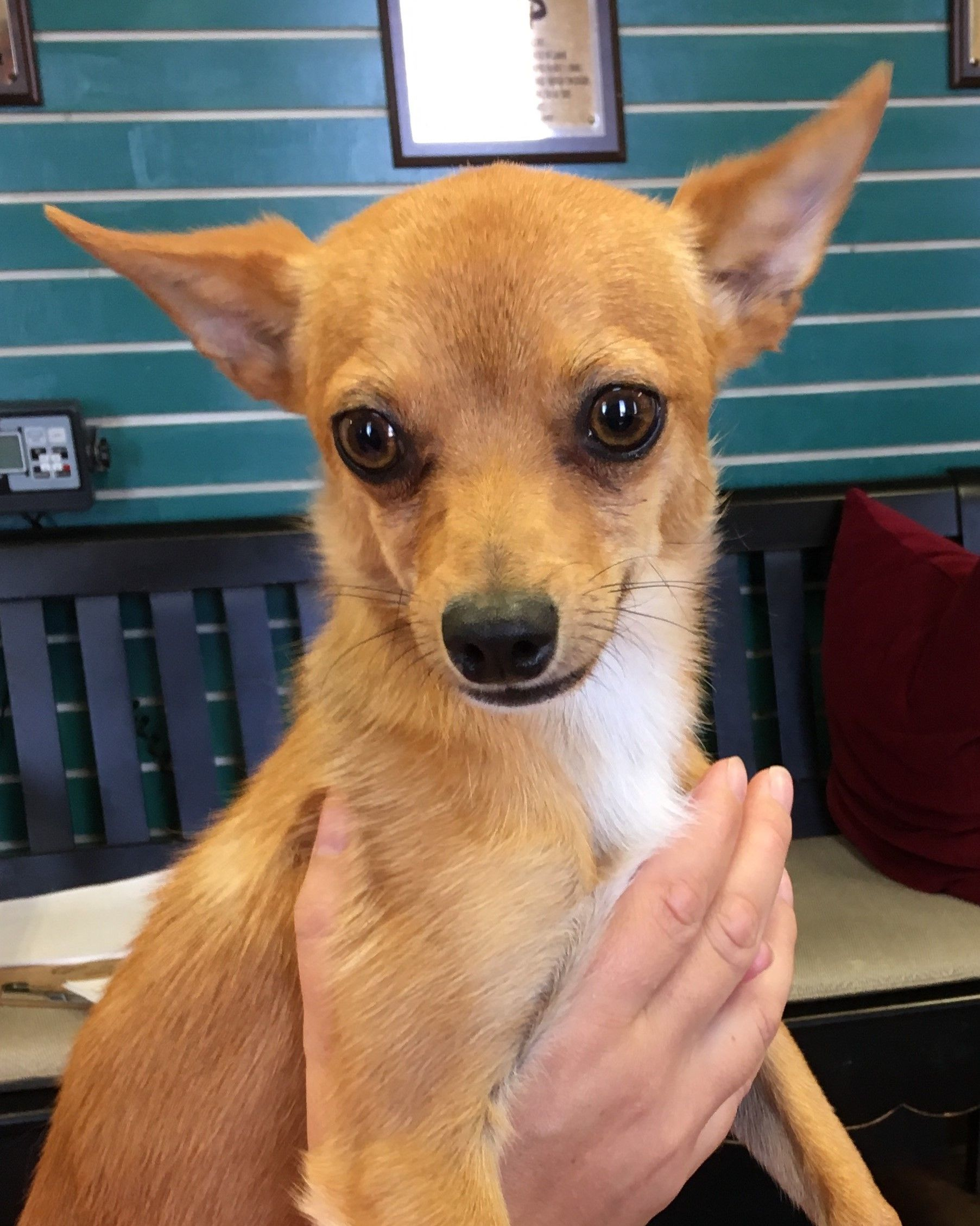 Chihuahua Dog For Adoption In Amarillo Tx Adn 646680 On