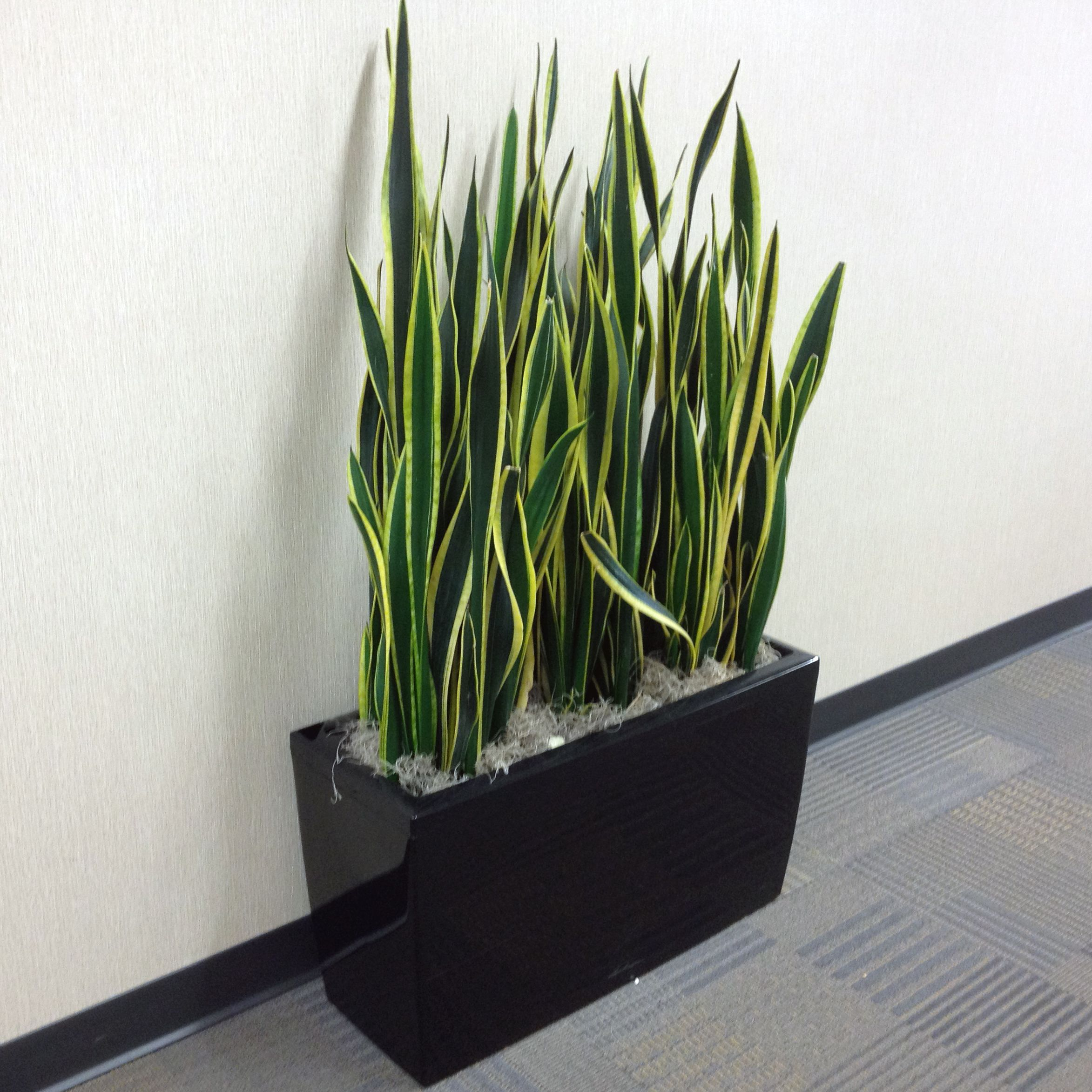Close up of a planted Lechuza Cararo in an office building in