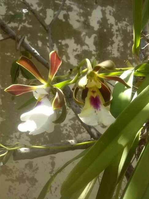 Mis orquideas en flor