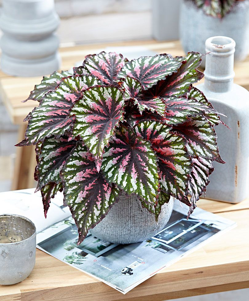 Leafy Begonia Revolution Painter S Palette Plants Flower Pots House Plants