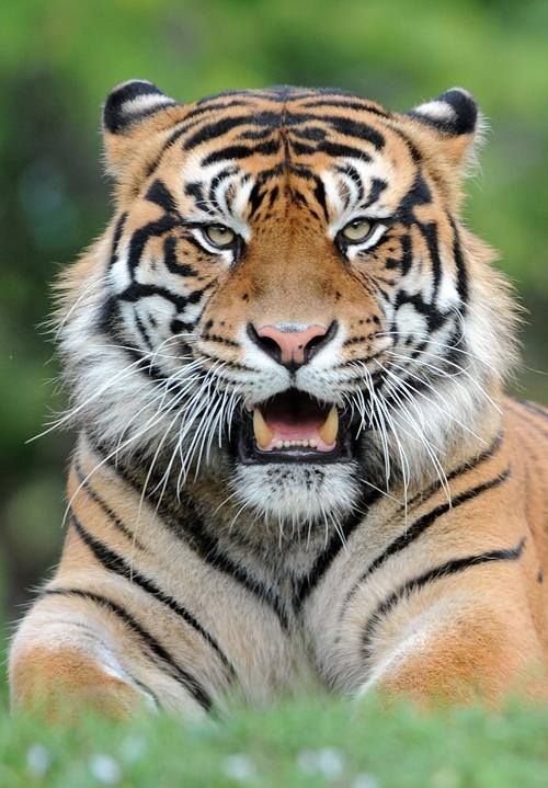 Tiger Facts For Kids Interesting Facts About Tigers For Kids Tiger Facts Cat Facts Animals Beautiful