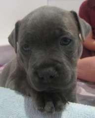 Purebred Blue Blue Brindle Staffie Pups Puppies For Sale Coolum