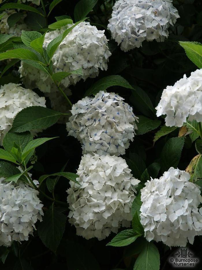 Hydrangea Mme E Mouillere From Burncoose Nurseries Planting Hydrangeas Hydrangea Plants