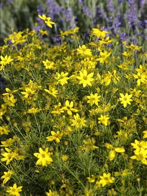 Perennial Results Plant View Coreopsis Verticillata Zagreb Perennial Plants Perennials Plants