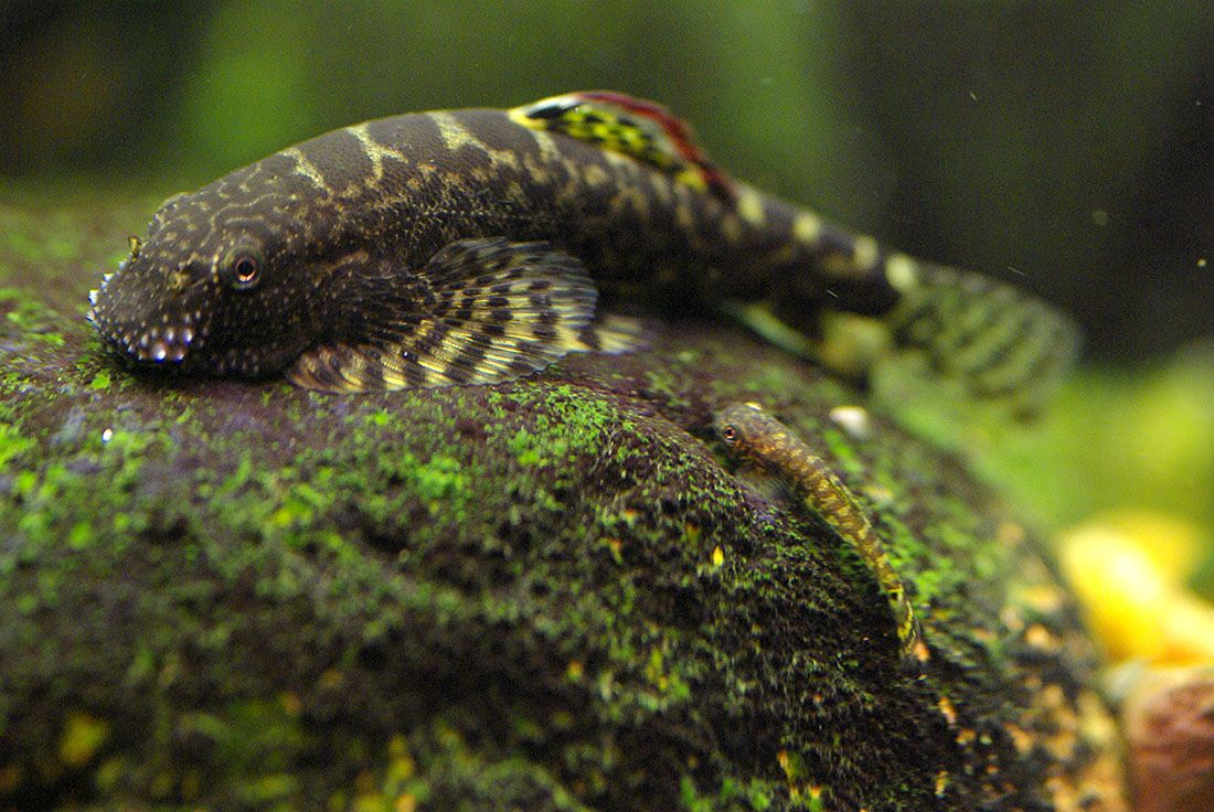 Reticulated Hillstream Loach Sewellia Lineolata Male Inhabit Fast Flowing Streams With Rocky Bottoms Aquarium Fish Freshwater Aquarium Tropical Fish Tanks
