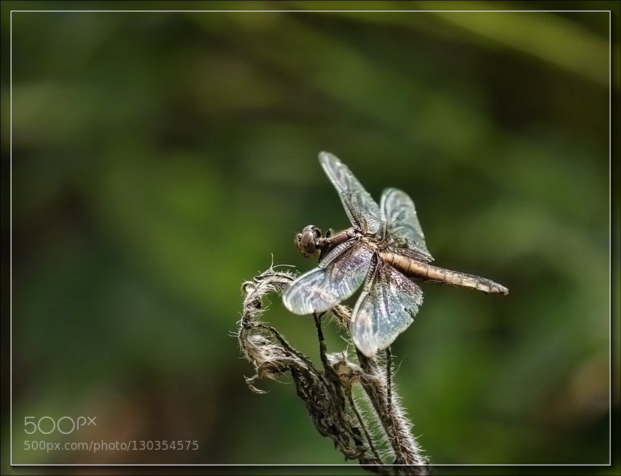 Another Dragonfly by JimAbbott1 #nature
