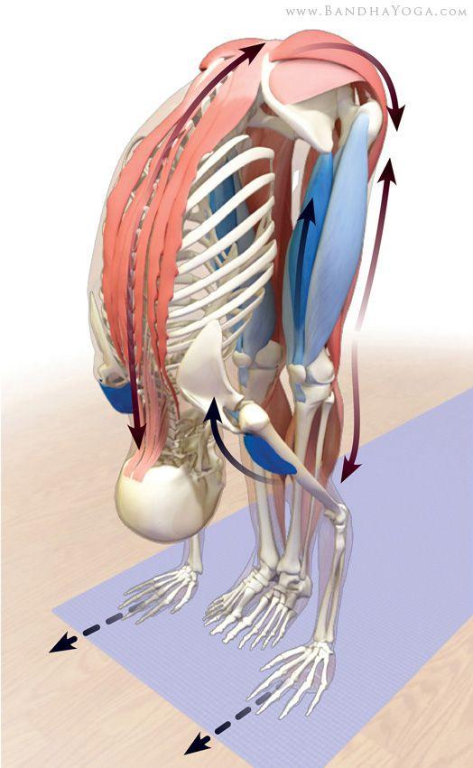 stretching posterior kinetic chain in uttanasana | Anatomia do yoga ...