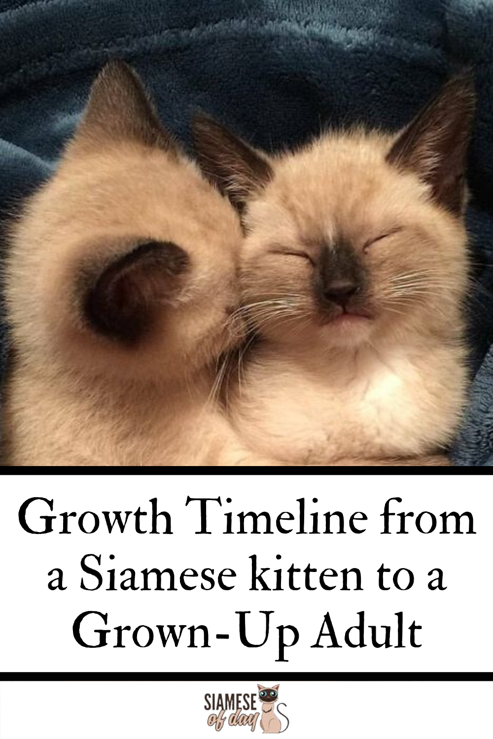 Siamese Kittens Growth Timeline Siamese Of Day In 2020 Siamese Kittens Kittens Siamese